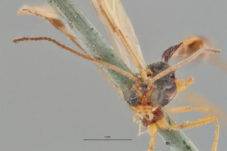 Bracon cinctellus typ F ZS PMax.jpg