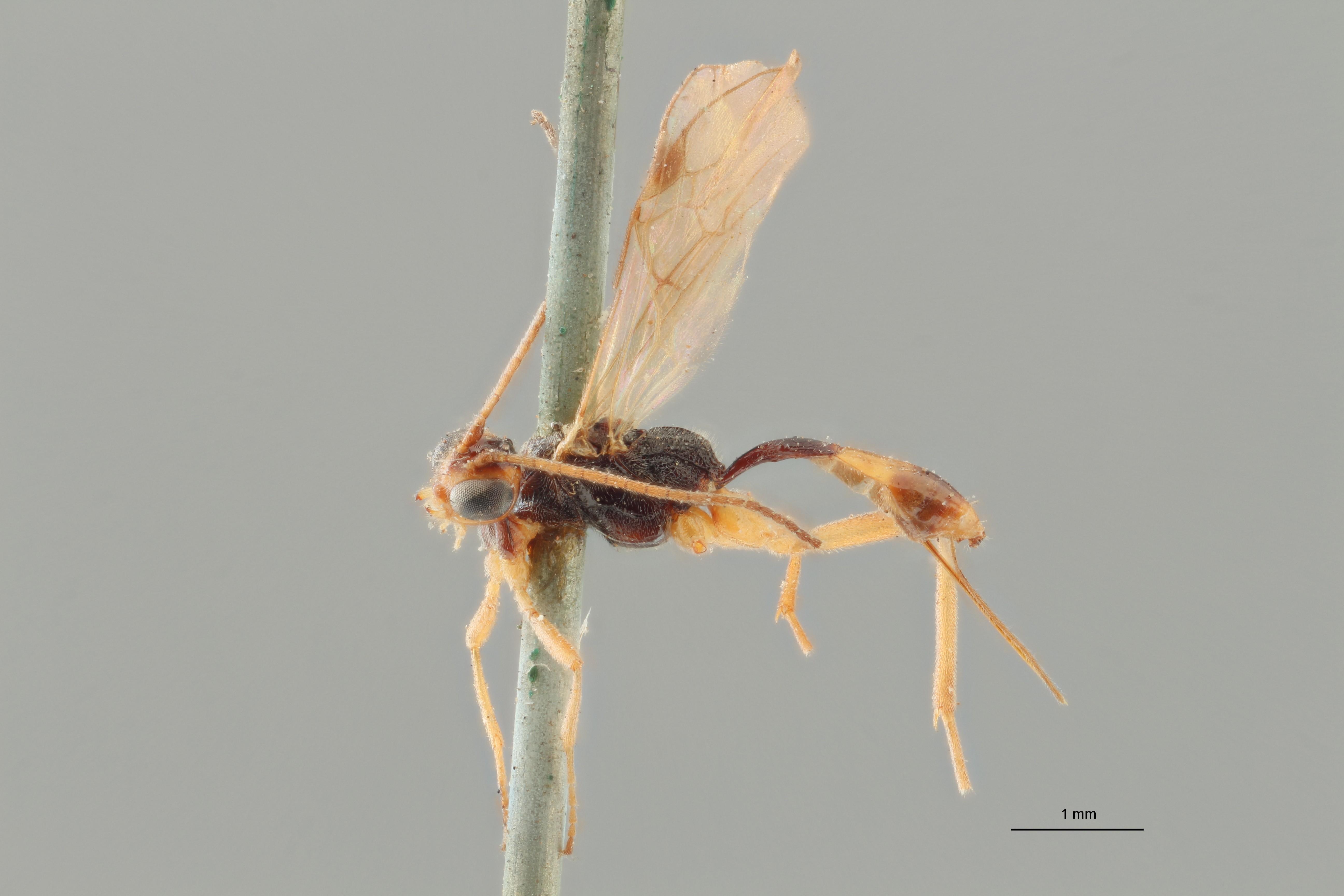 Bracon cinctellus typ L ZS PMax.jpg