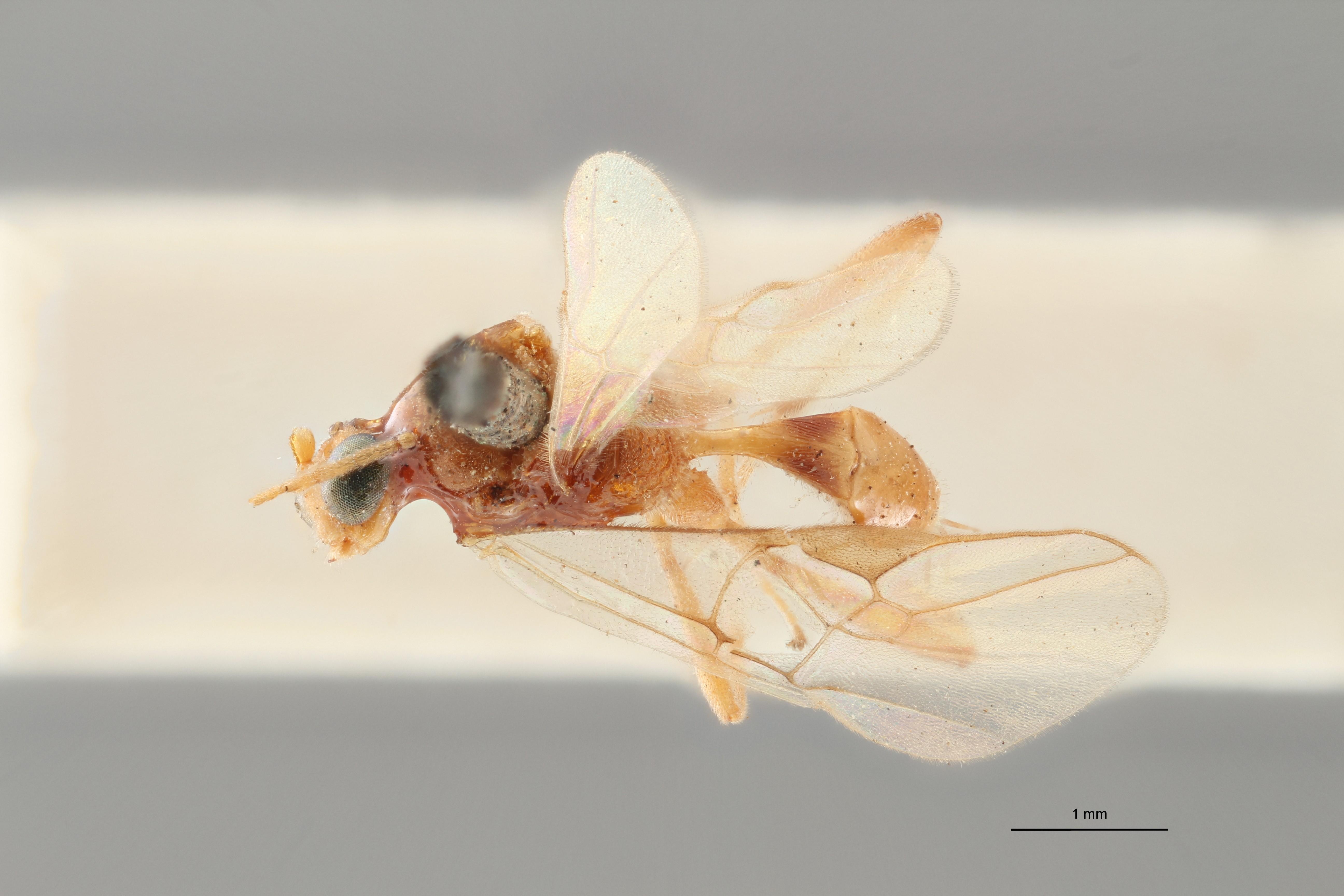 Perilitus bimaculatus plt D ZS PMax.jpg
