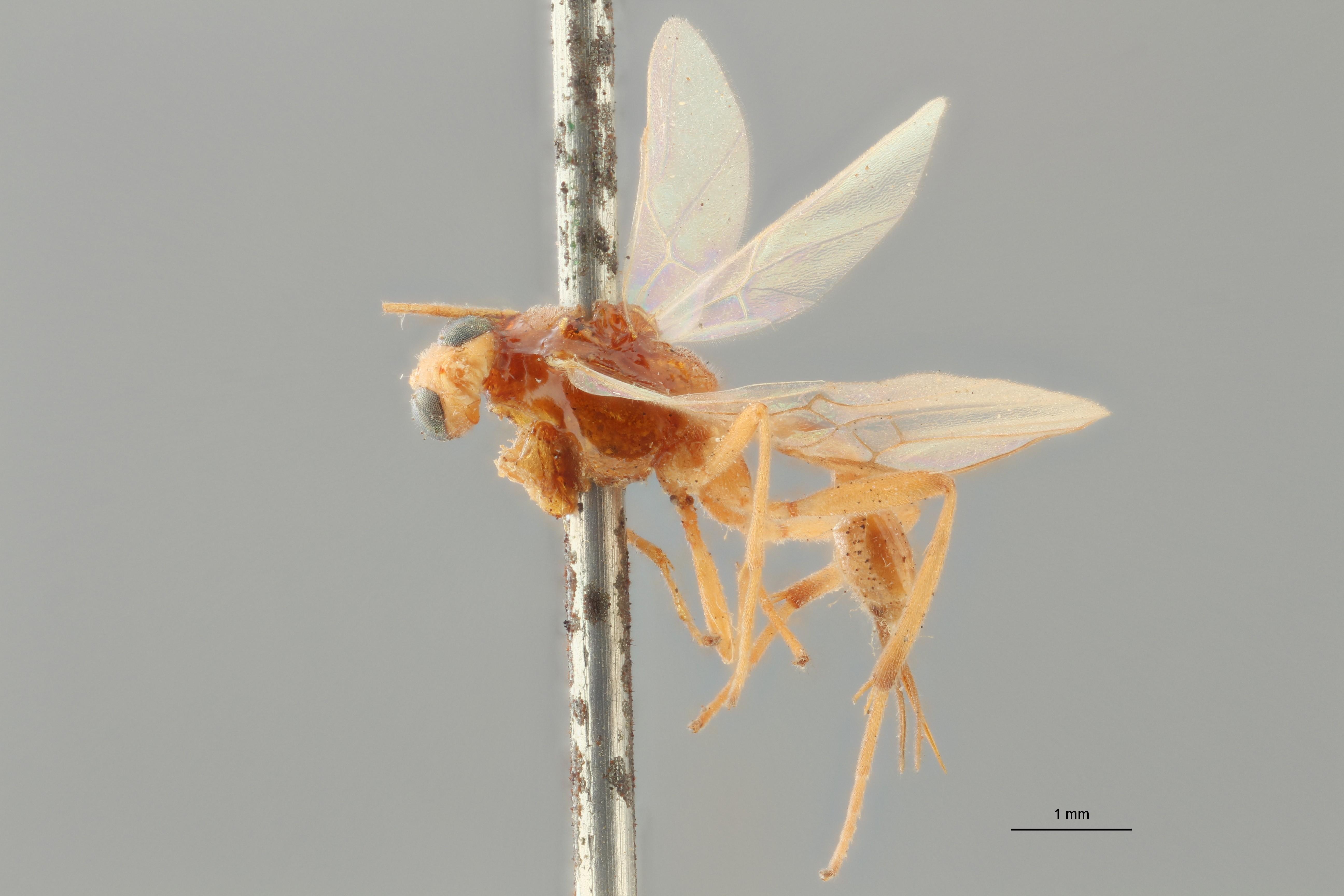 Perilitus bimaculatus plt L ZS PMax.jpg