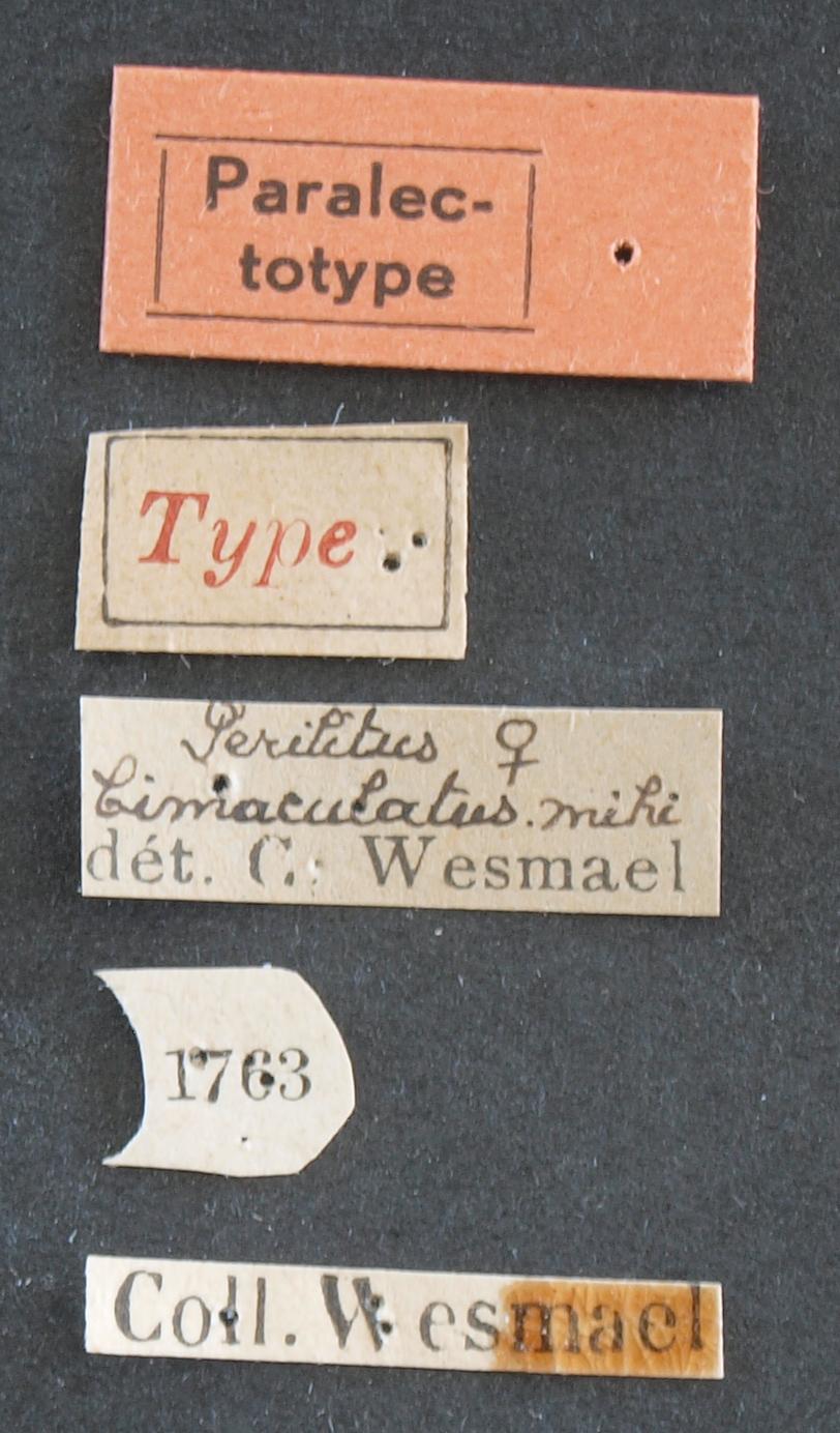 Perilitus bimaculatus plt Lb.JPG