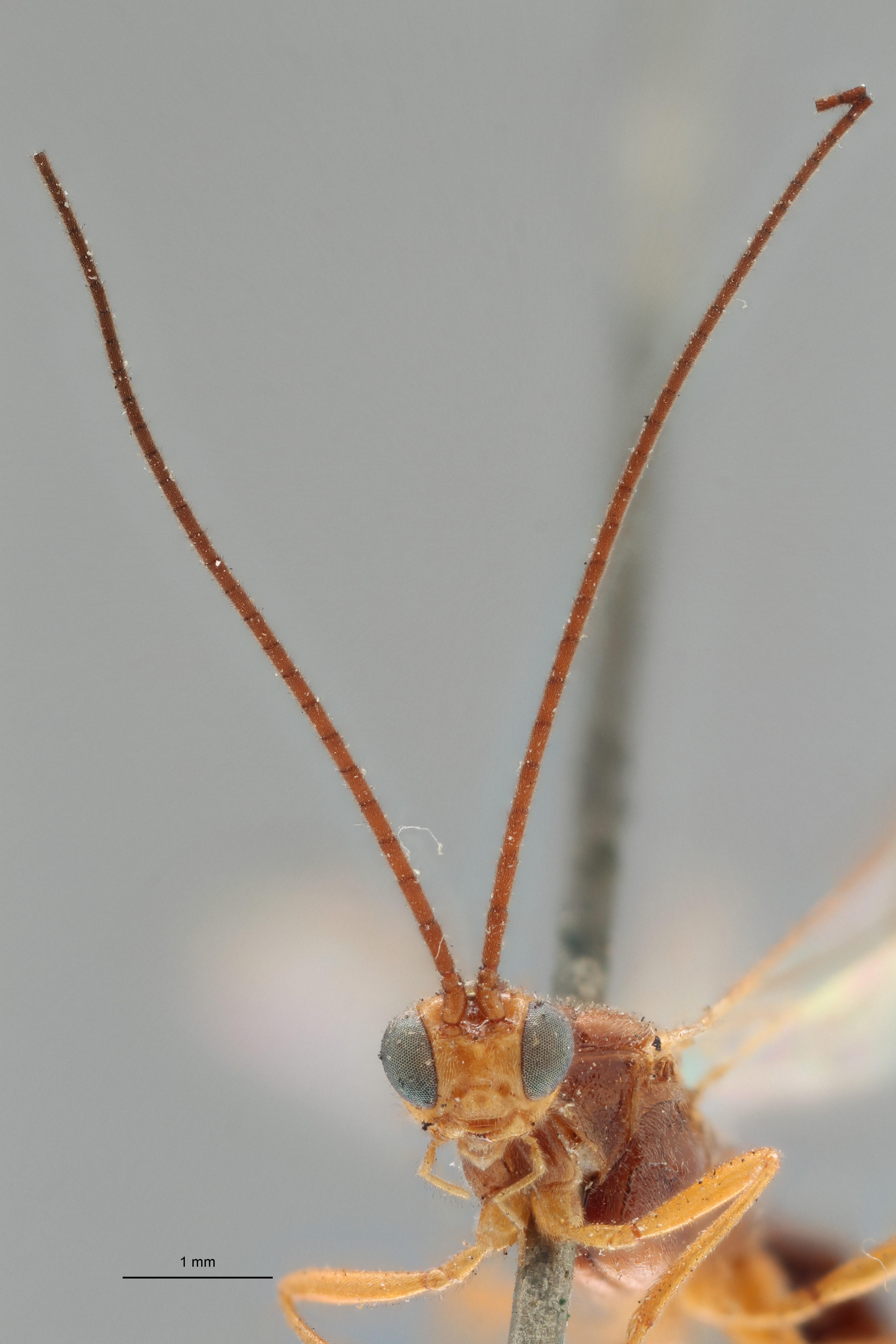Zele chlorophthalmus typ F ZS PMax.jpg