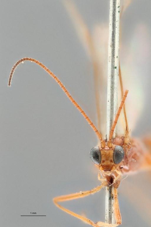 Perilitus deceptor lct F ZS PMax.jpg