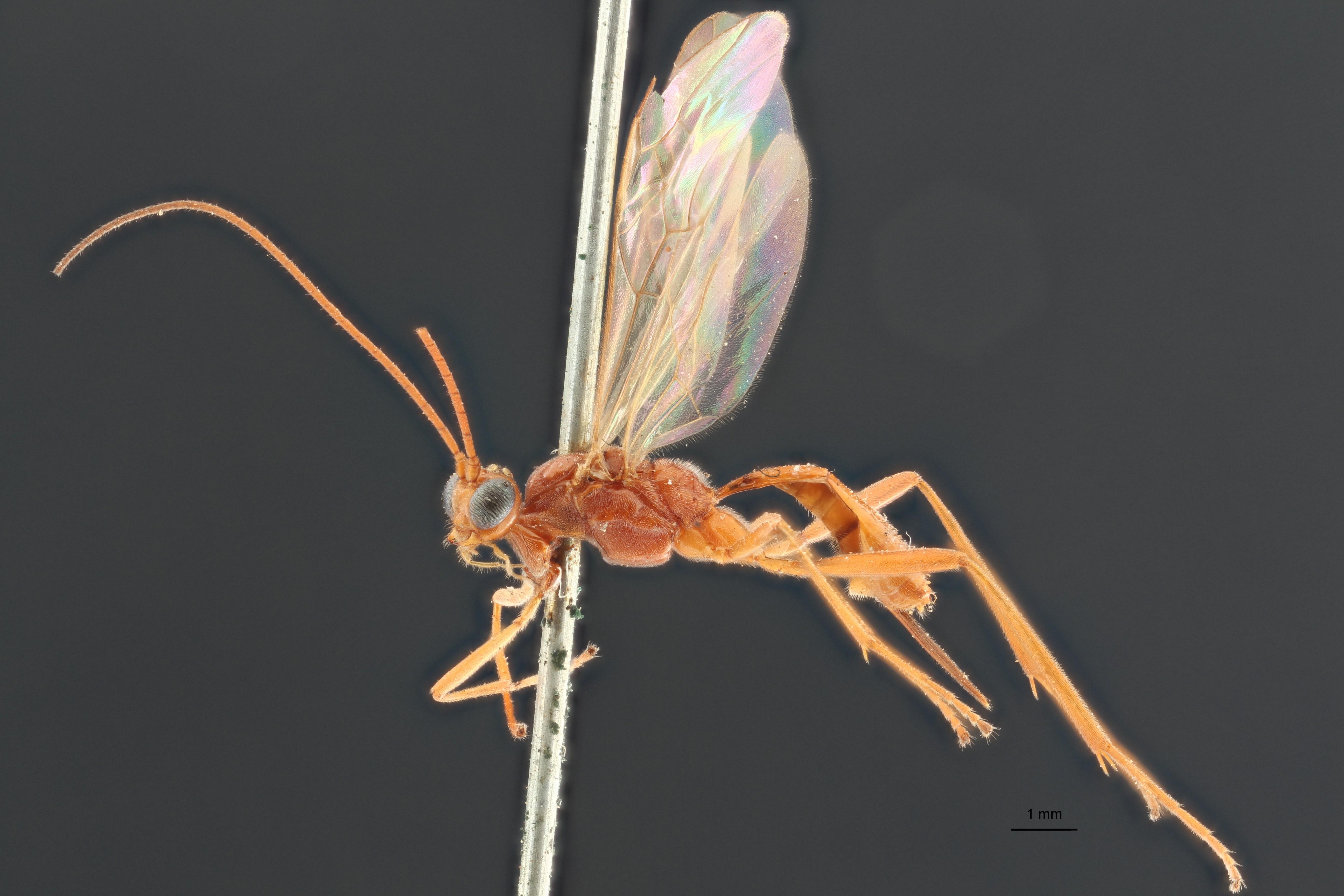Perilitus deceptor lct L ZS PMax.jpg