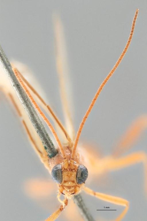 Perilitus dispar lct F ZS PMax.jpg
