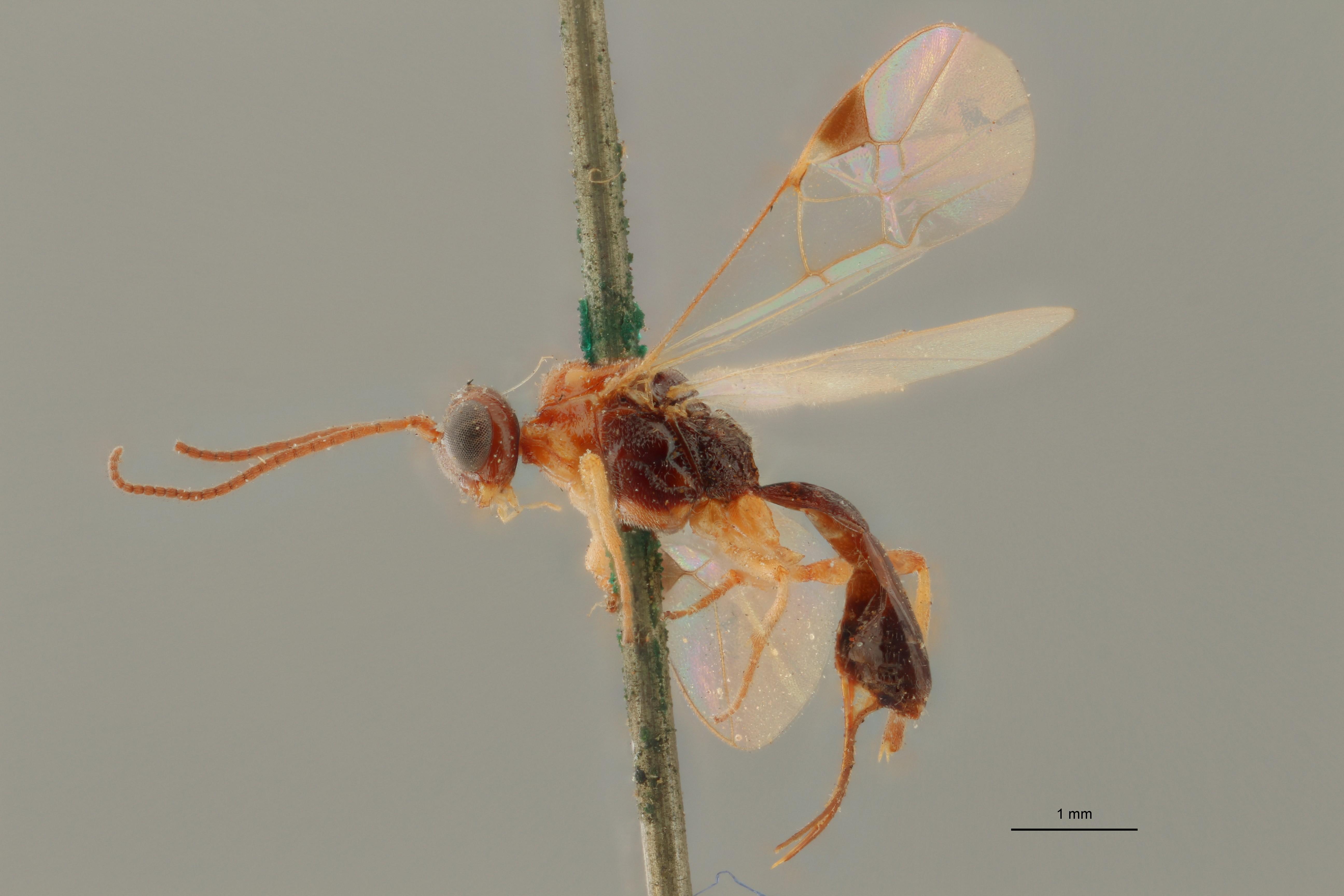 Perilitus formosus plt L ZS PMax.jpg