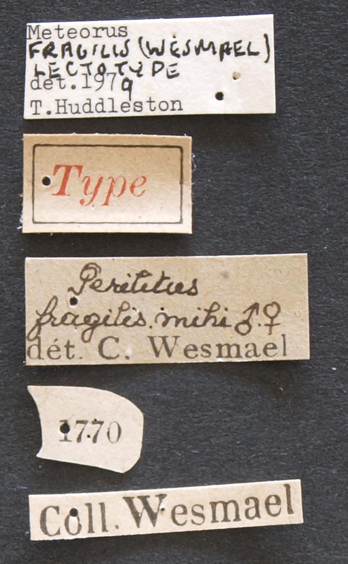 Perilitus fragilis lct Lb.JPG