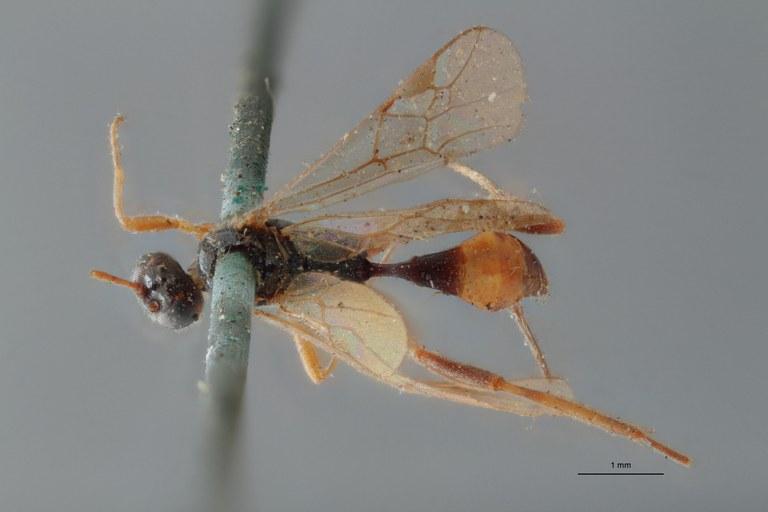 Perilitus fuscipes lct D ZS PMax.jpg