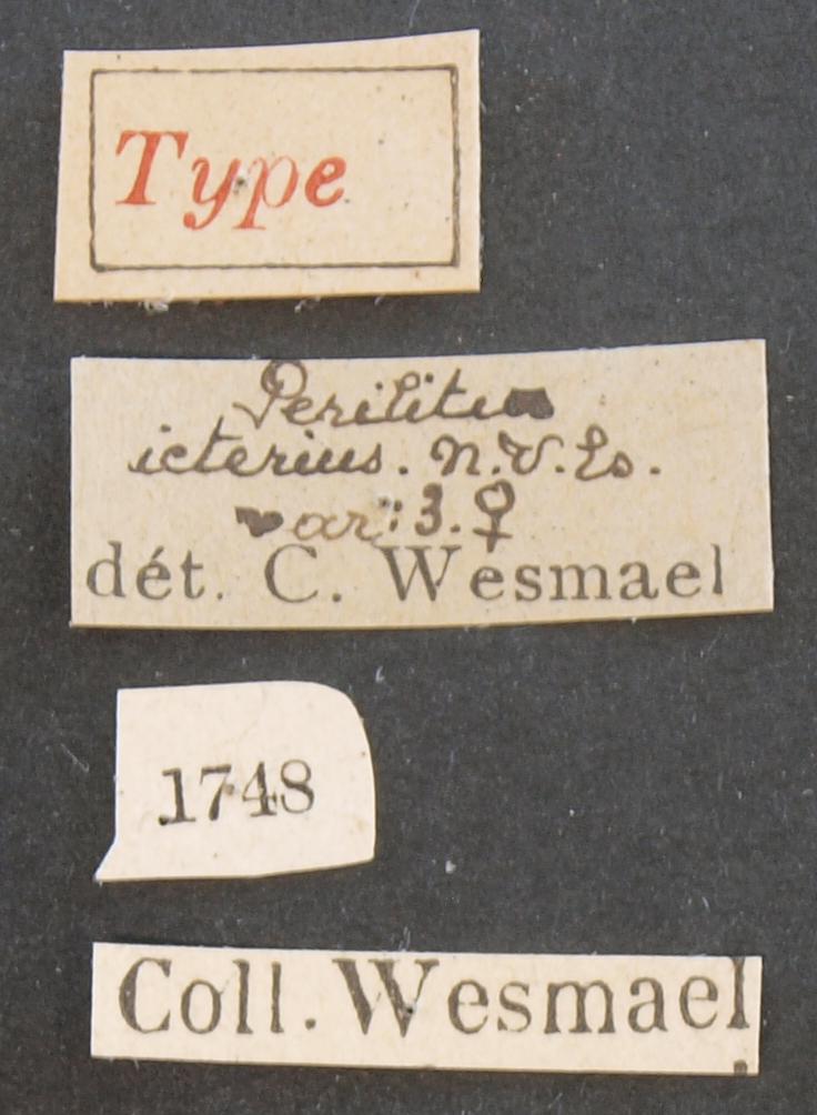 Perilitus ictericus var 3 typ Lb.JPG