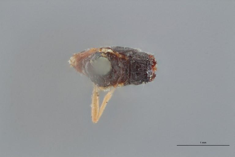 Perilitus laticeps lct D ZS PMax.jpg