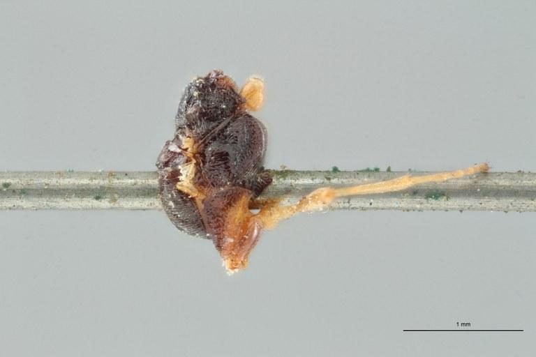 Perilitus laticeps lct L ZS PMax.jpg
