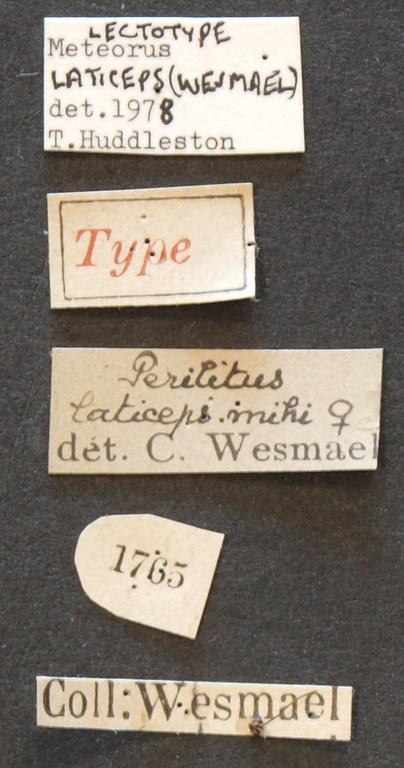 Perilitus laticeps lct Lb.JPG