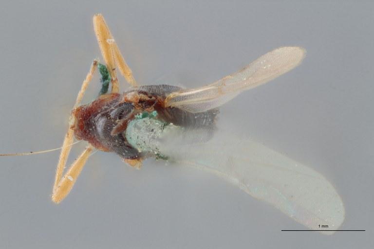 Perilitus laticeps plt D ZS PMax.jpg
