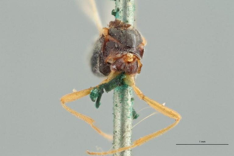 Perilitus laticeps plt F ZS PMax.jpg