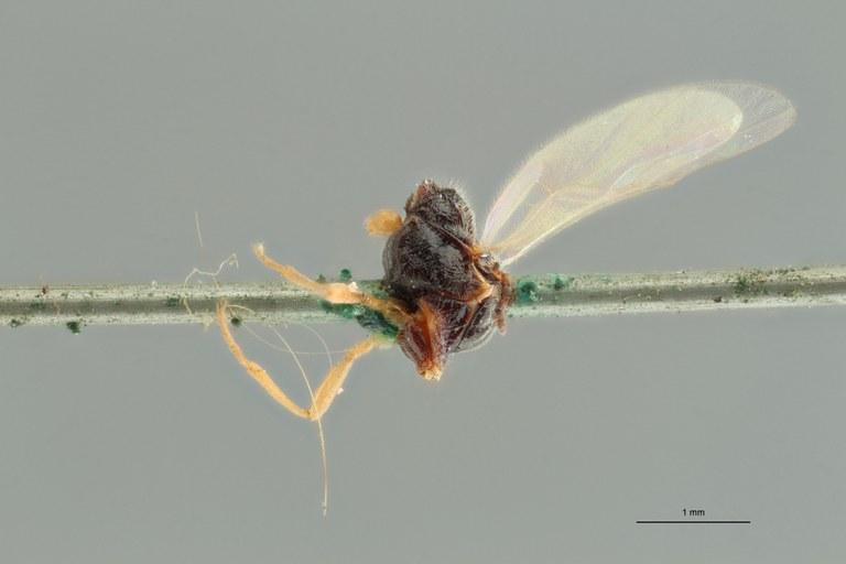 Perilitus laticeps plt L ZS PMax.jpg