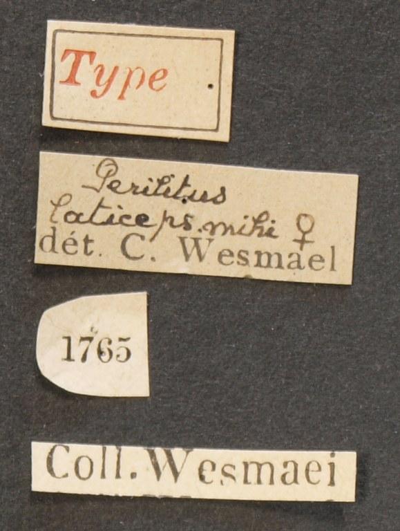 Perilitus laticeps plt Lb.JPG