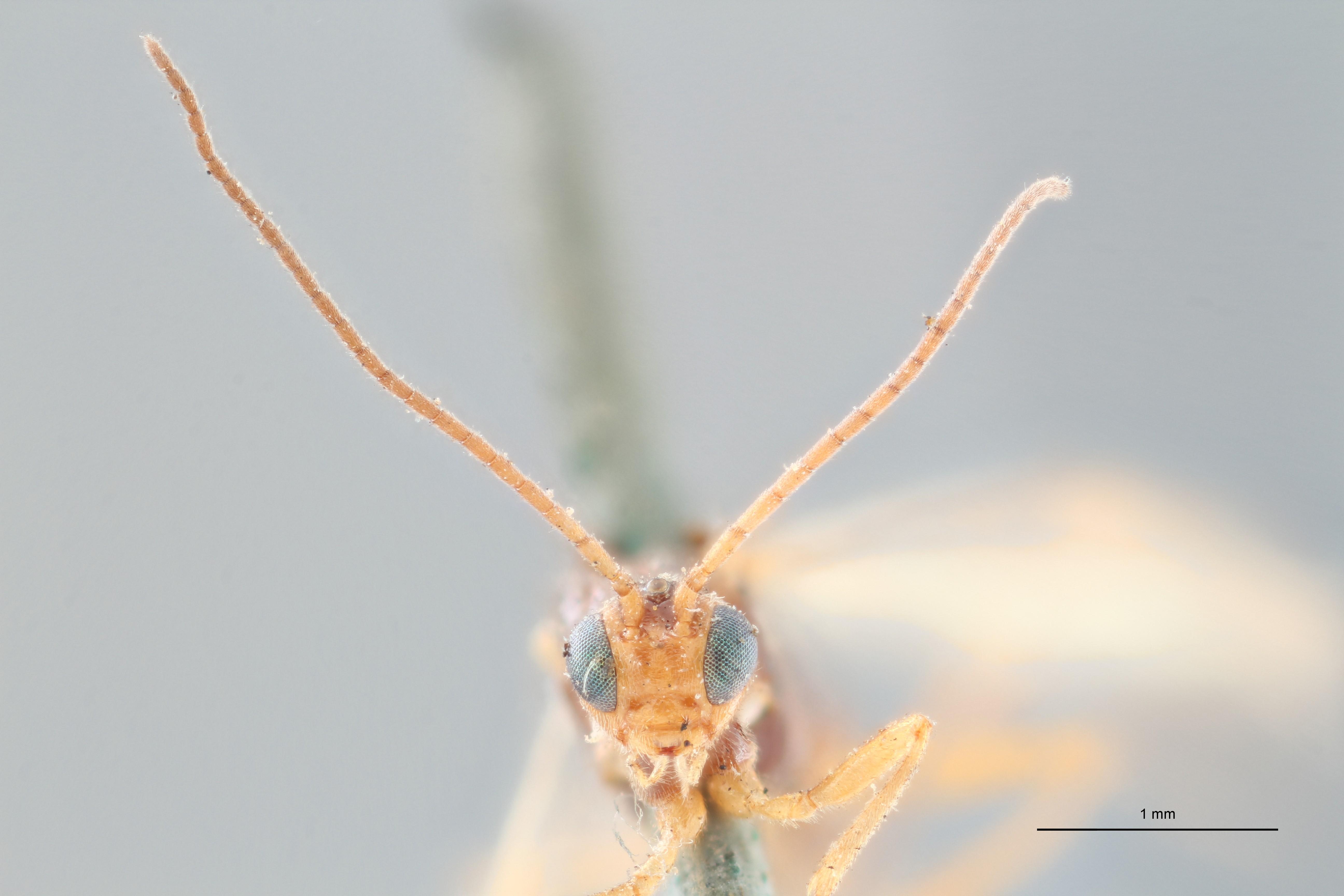 Perilitus leviventris lct F ZS PMax.jpg