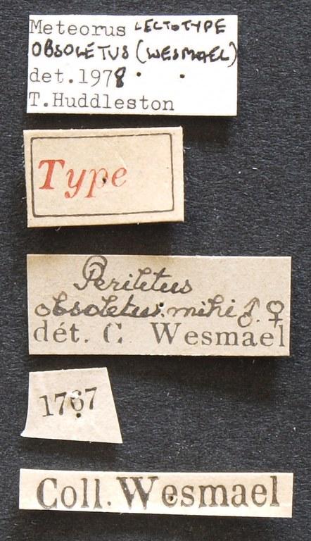Perilitus obsoletus lct Lb.JPG