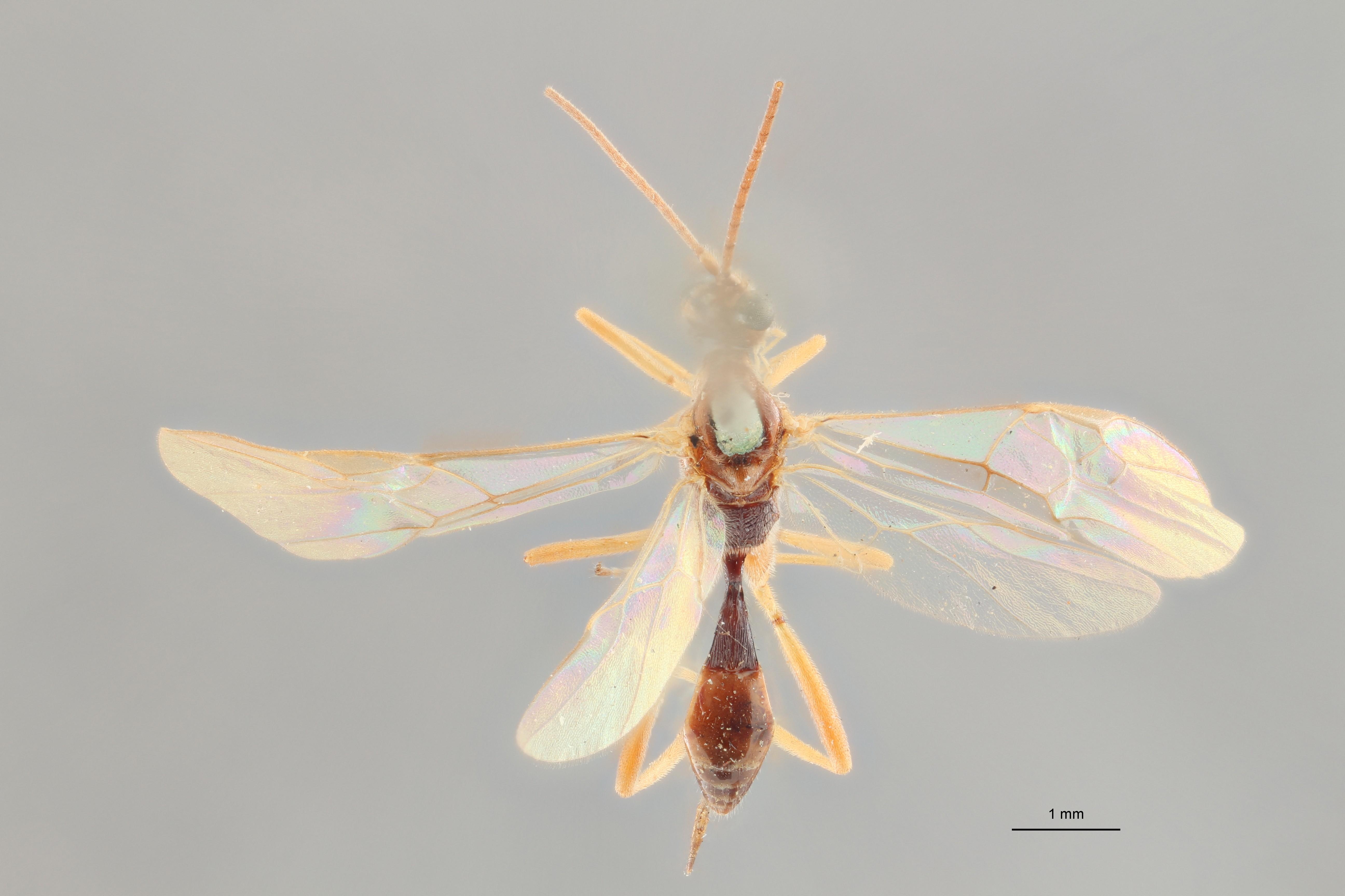 Perilitus scutellator lct D ZS PMax.jpg