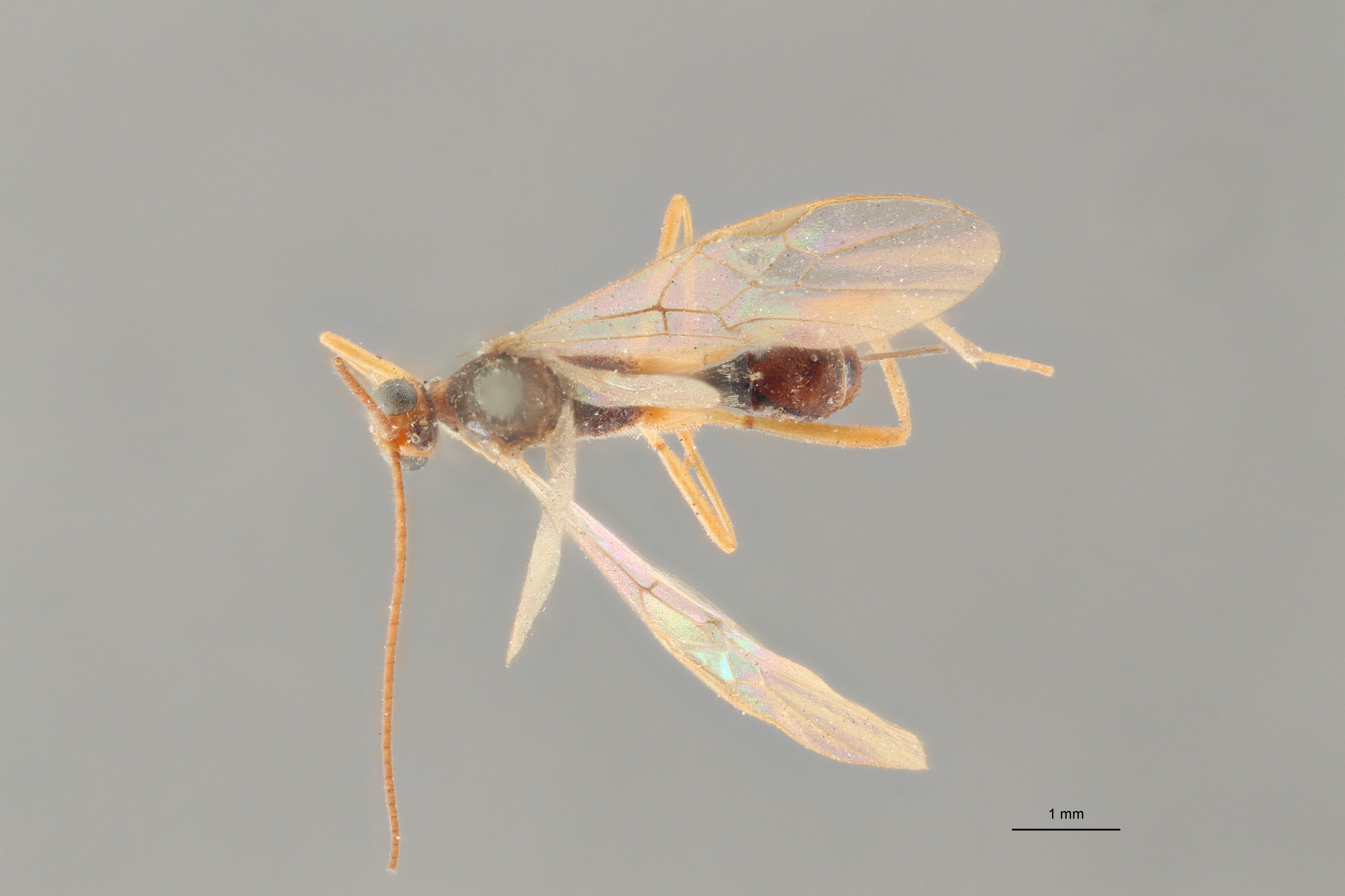 Perilitus scutellator plt D ZS PMax.jpg