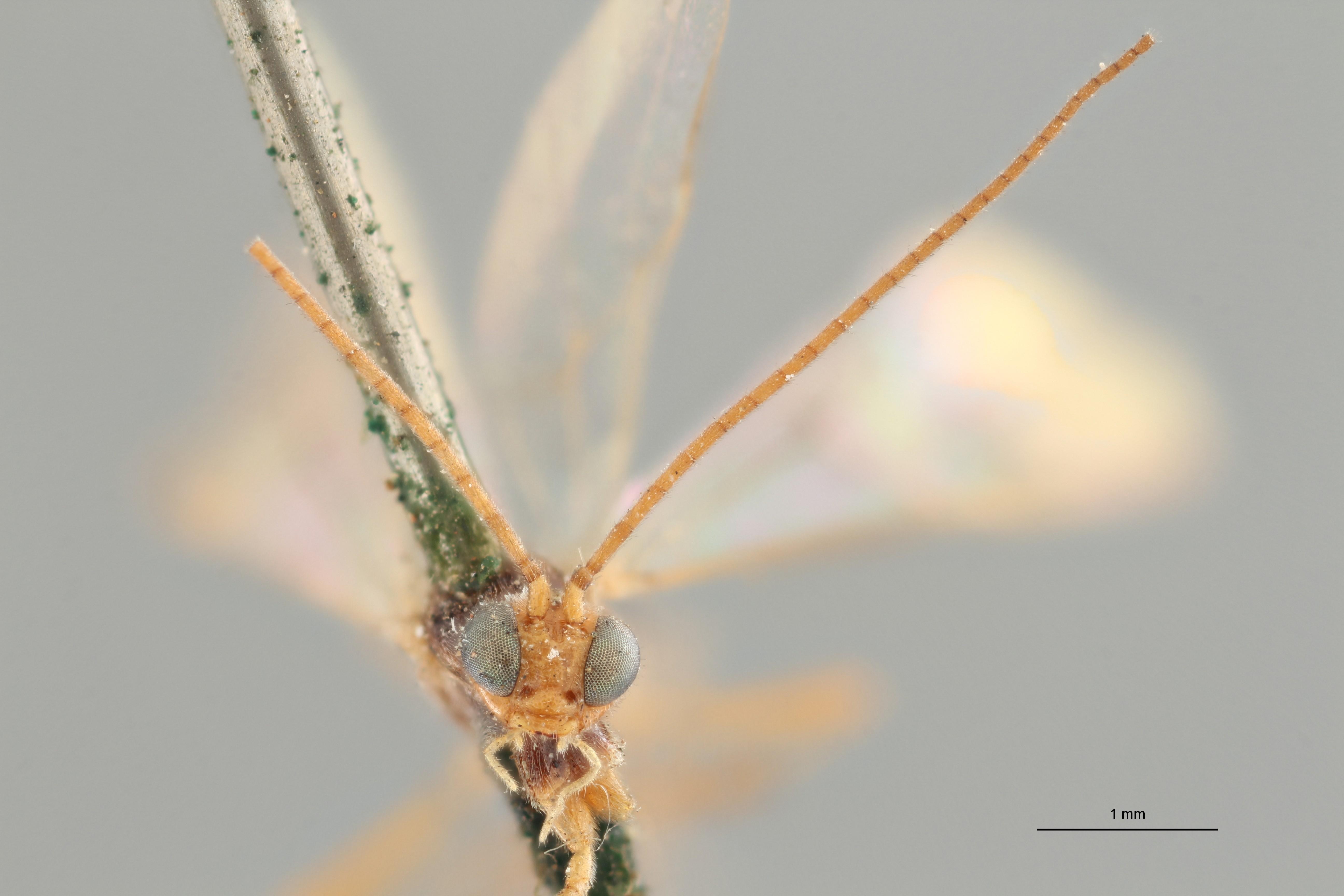 Perilitus scutellator plt F ZS PMax.jpg