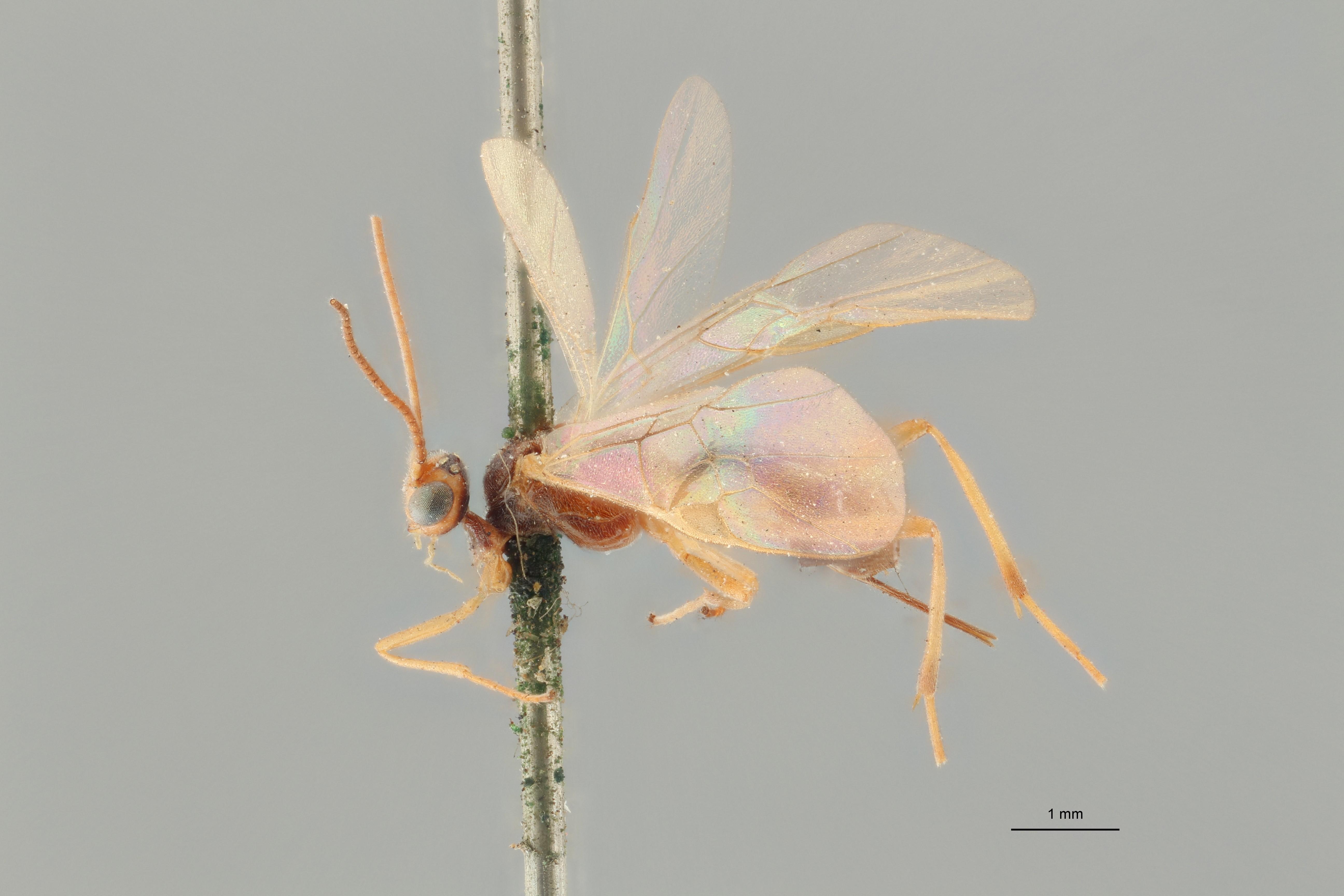 Perilitus scutellator plt L ZS PMax.jpg