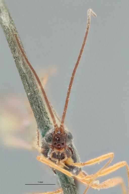 Perilitus tabidus lct F ZS PMax.jpg