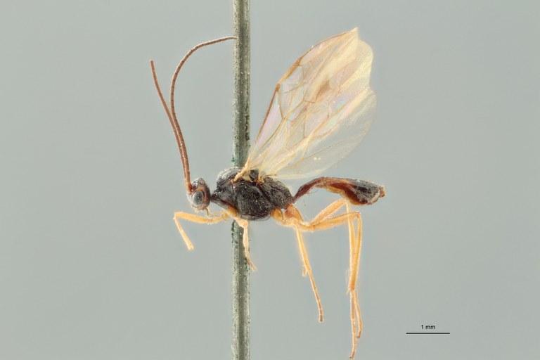 Perilitus tabidus lct L ZS PMax.jpg