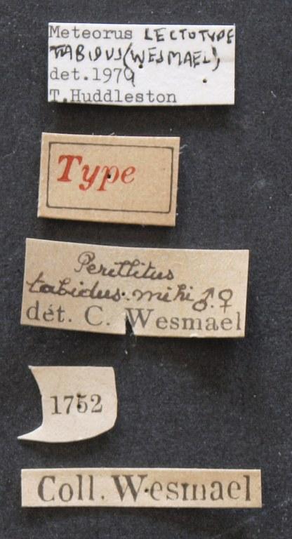 Perilitus tabidus lct LB.JPG