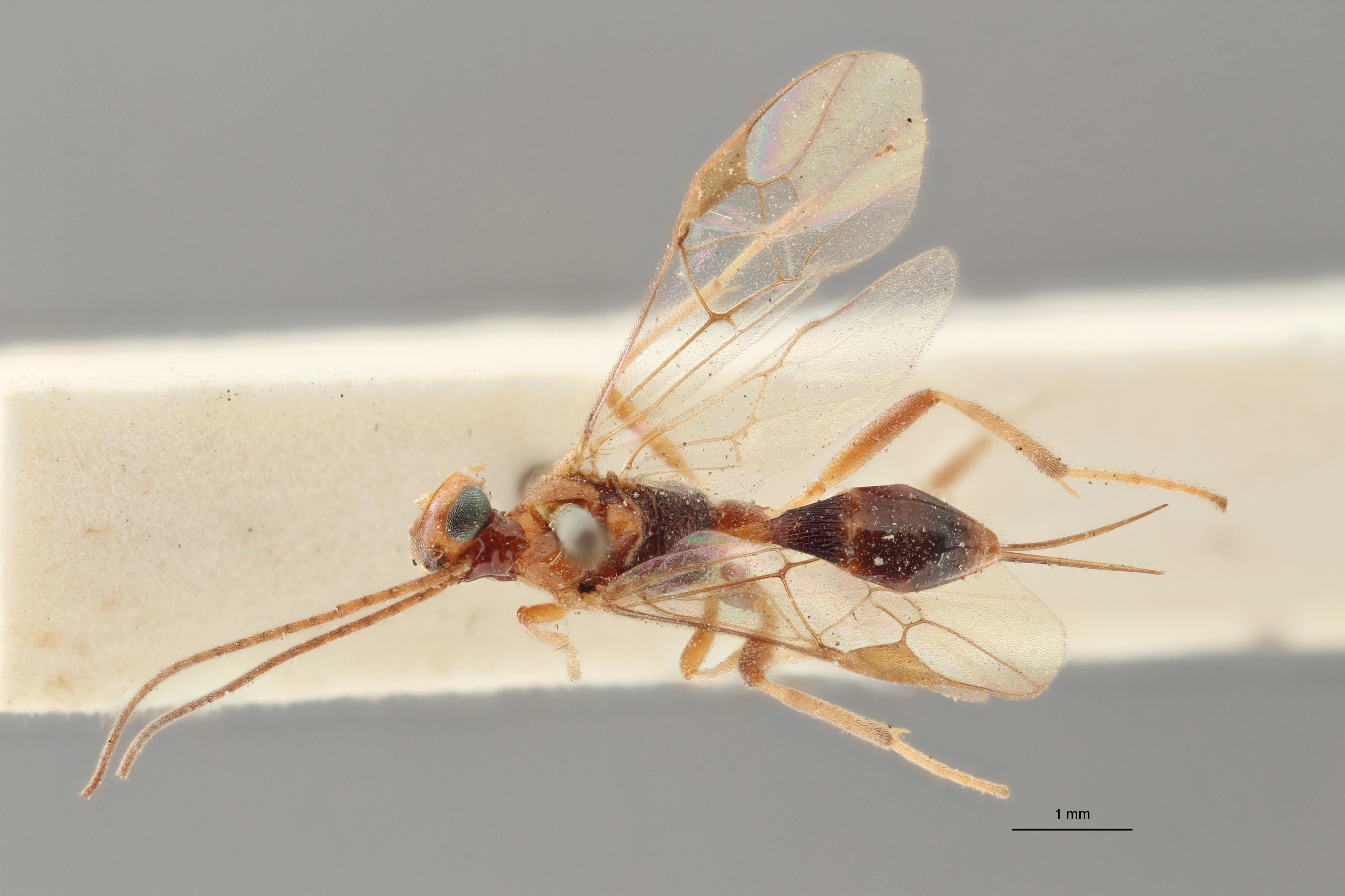 Perilitus versicolor lct D ZS PMax.jpg