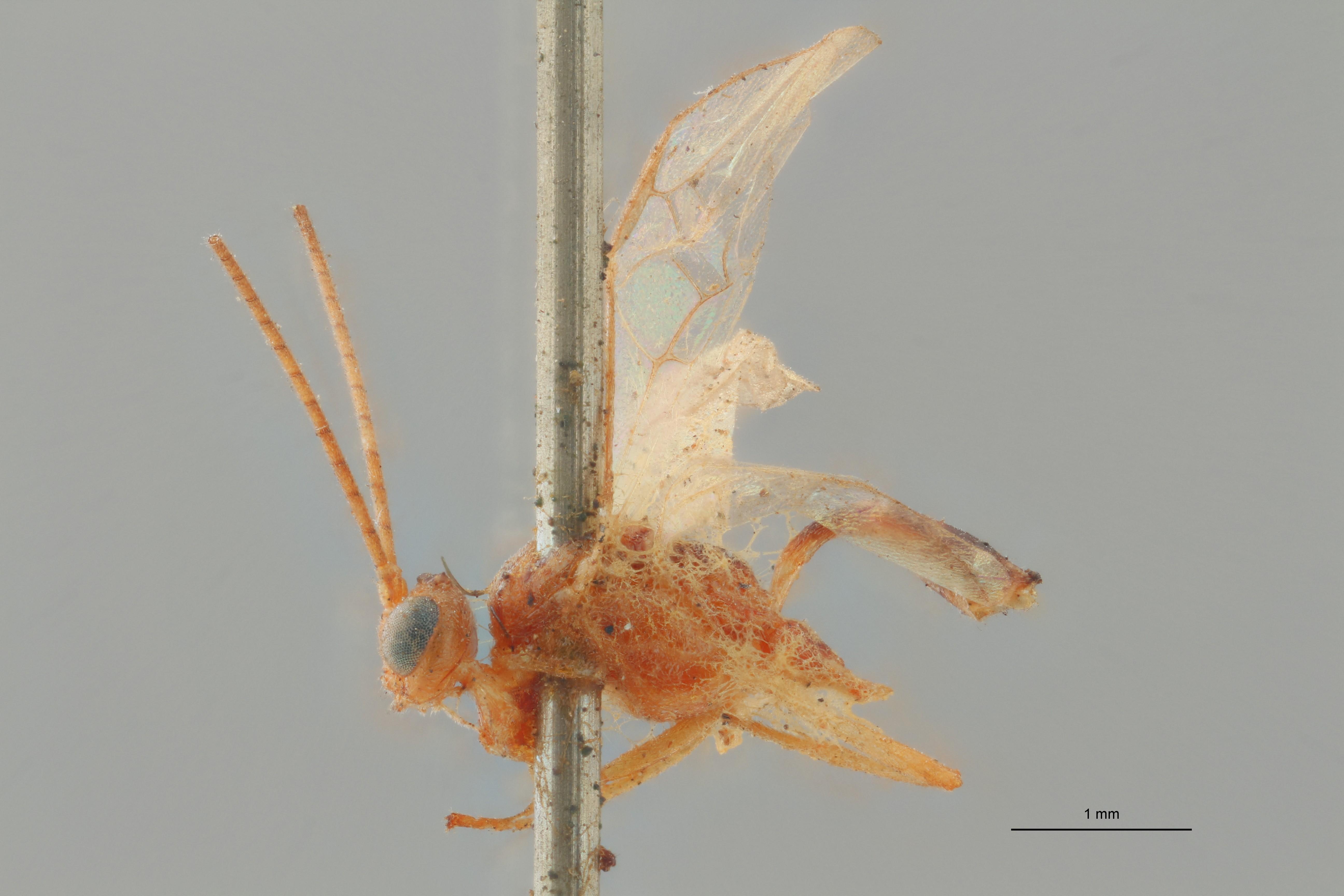 Perilitus versicolor plt L ZS PMax.jpg