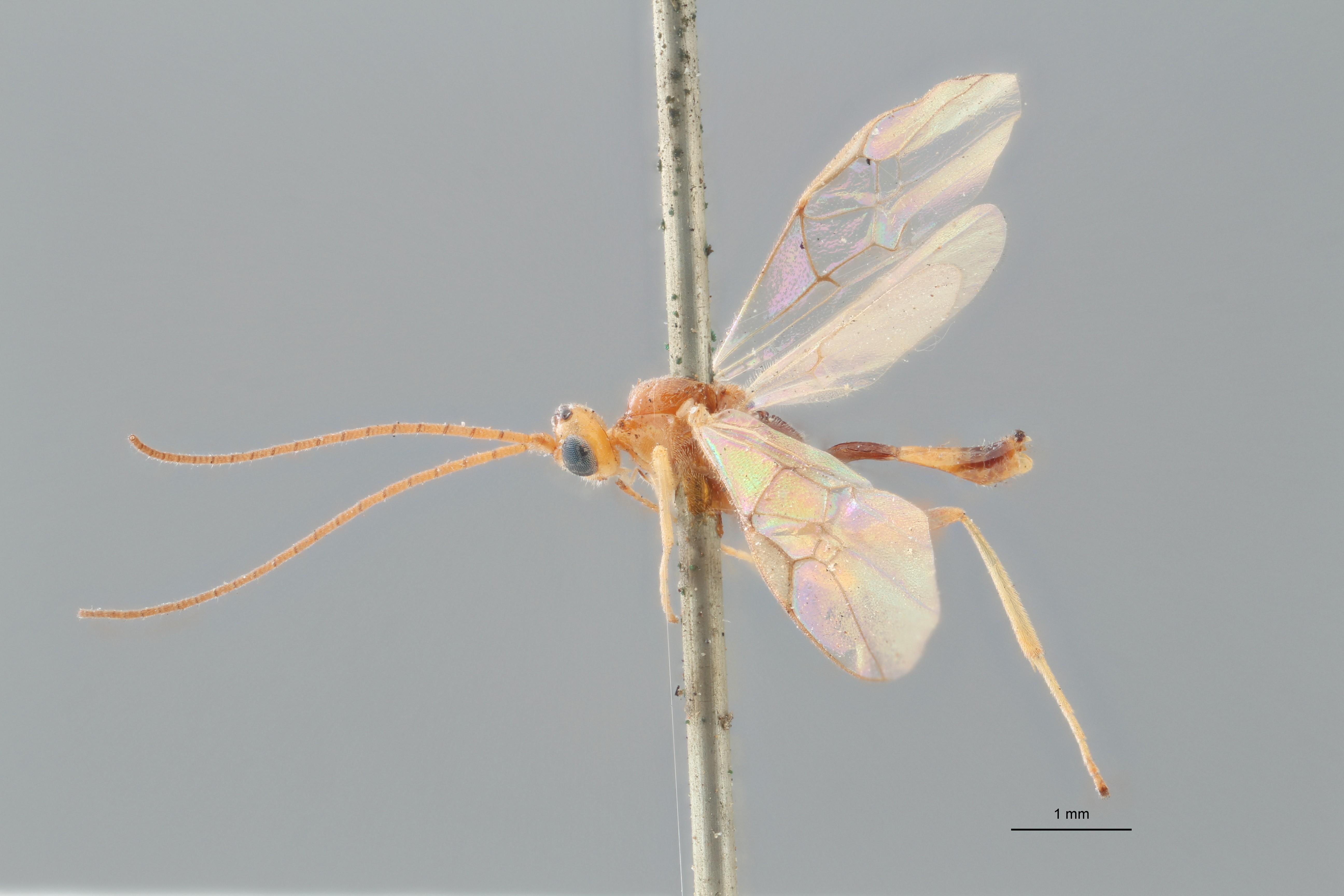 Perilitus xanthomelas lct L ZS PMax.jpg