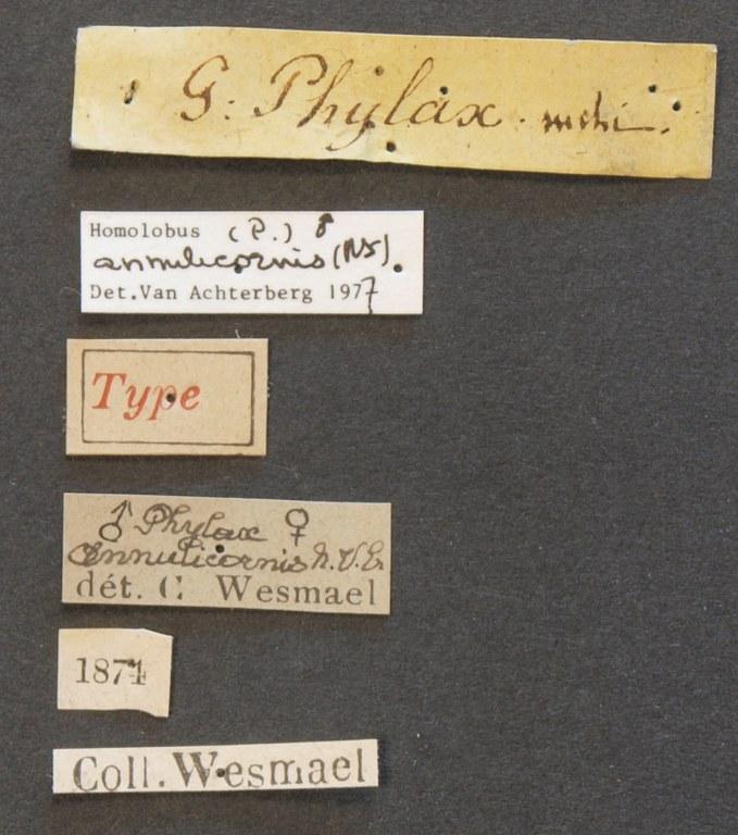 Phylax annulicornis typ Lb.JPG