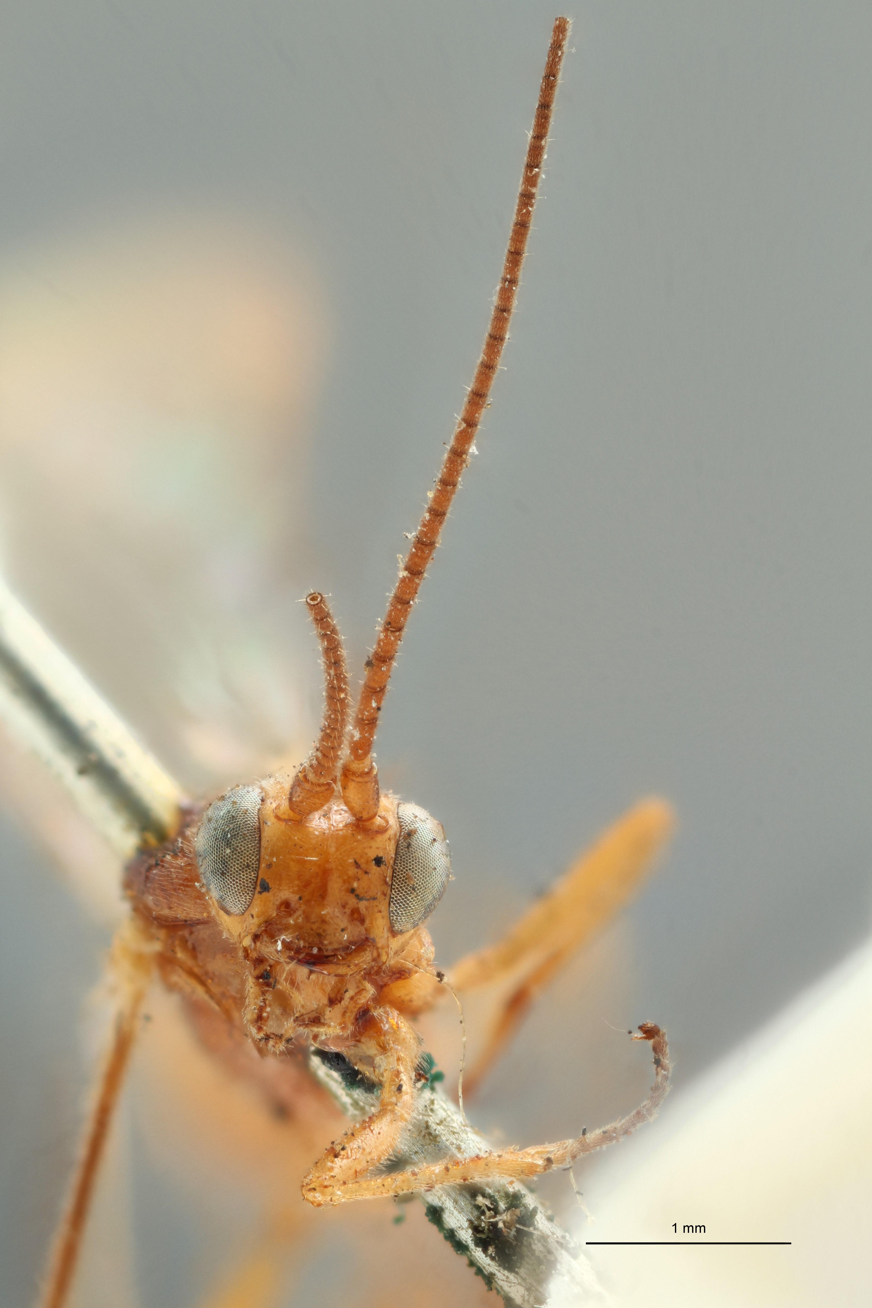 Phylax calcarator ht F ZS PMax.jpg