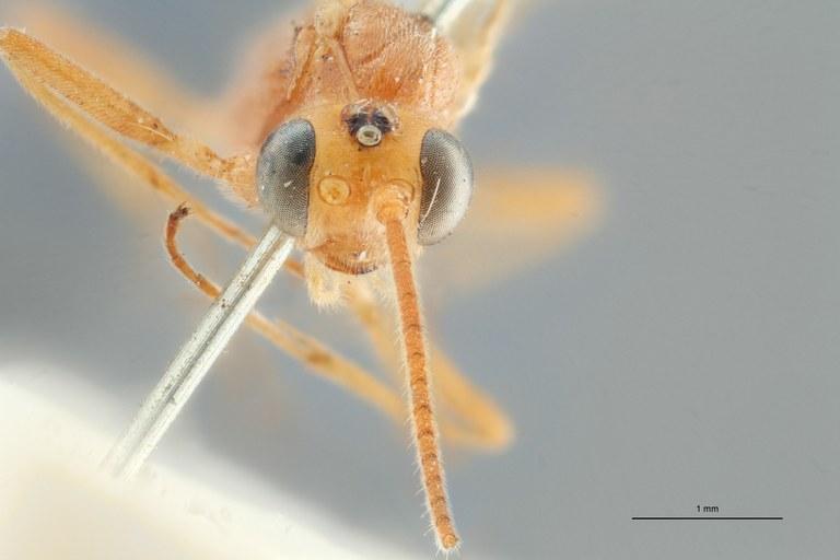 Phylax chlorophthalmus typ F ZS PMax.jpg