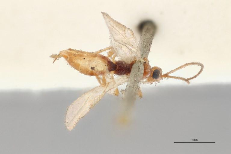 Hormius moniliatus typ D ZS PMax Scaled.jpg