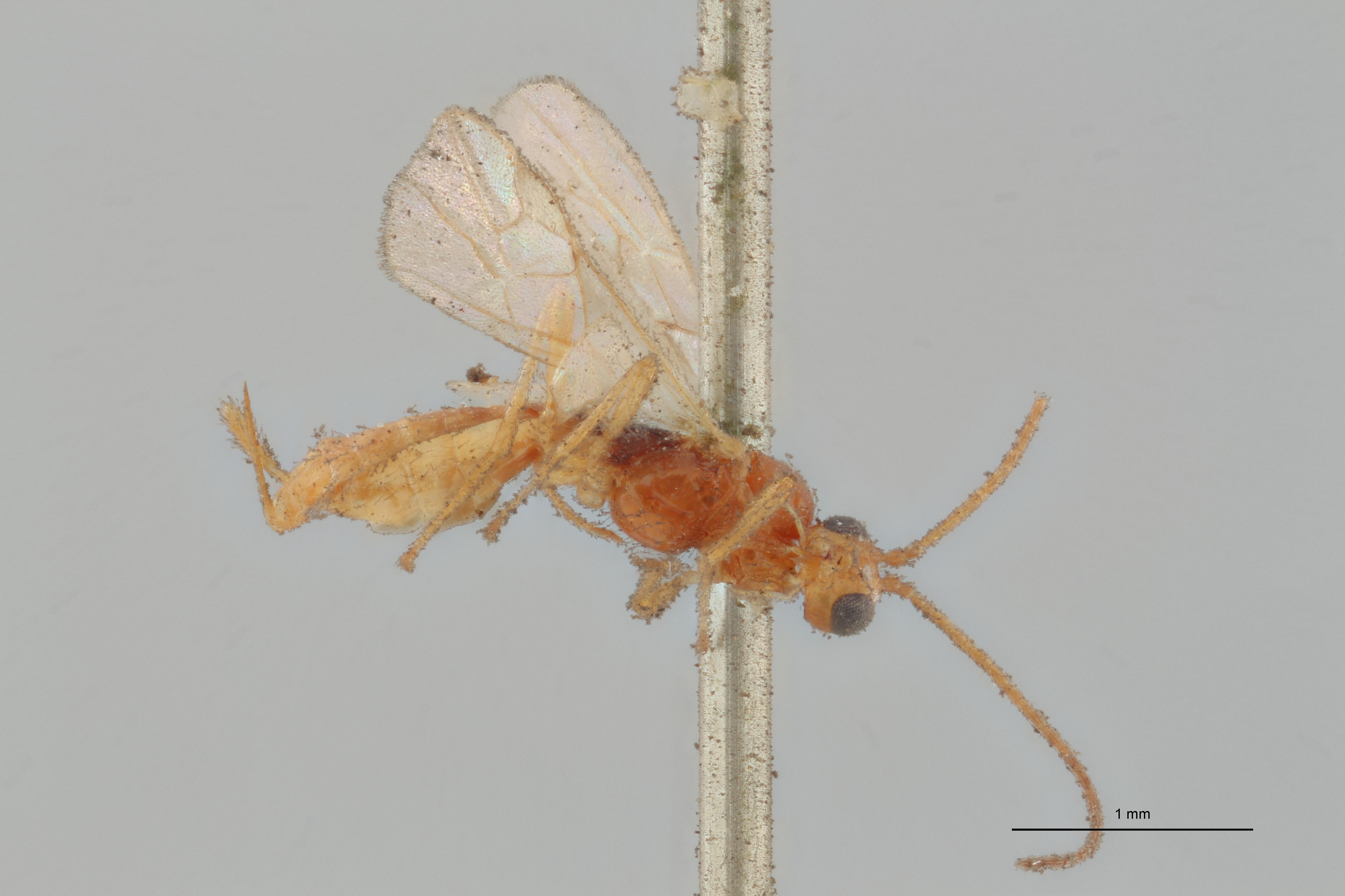 Hormius moniliatus typ L ZS PMax Scaled.jpg