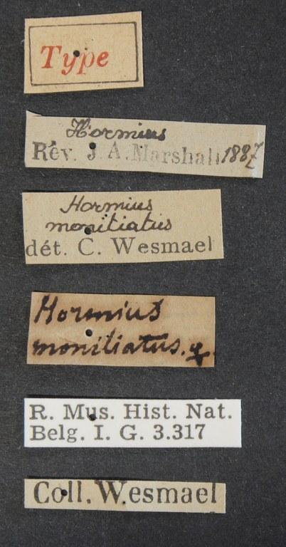 Hormius moniliatus typ Lb.JPG