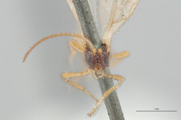Hormius piciventris plt F ZS PMax Scaled.jpg