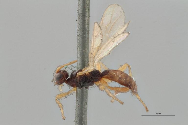 Hormius piciventris plt L ZS PMax Scaled.jpg