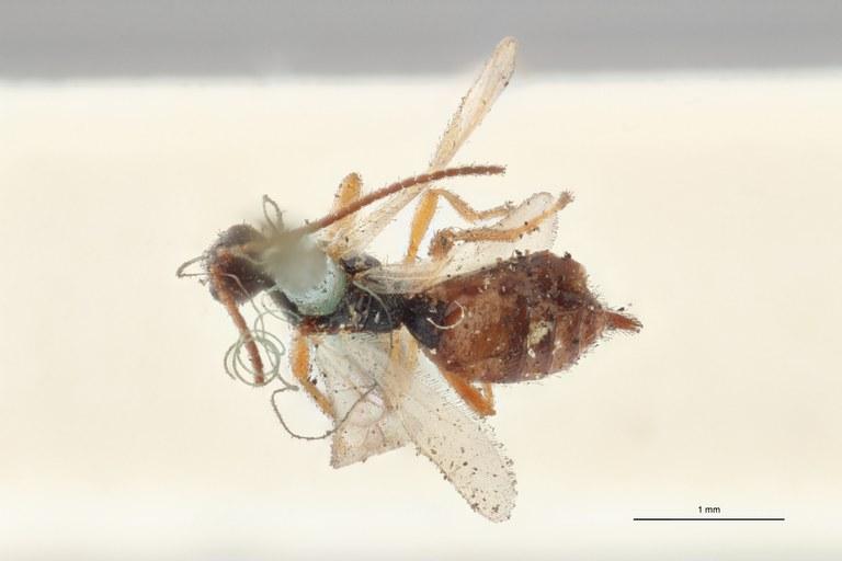 Hormius piciventris lct D ZS PMax Scaled.jpg