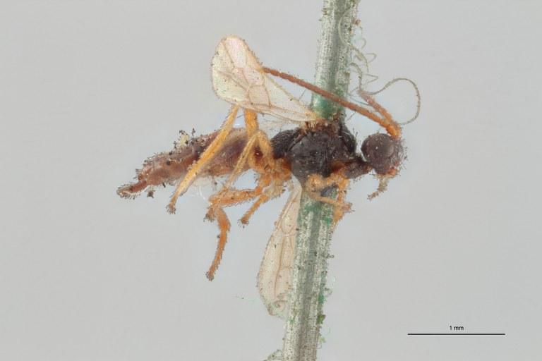 Hormius piciventris lct L ZS PMax Scaled.jpg