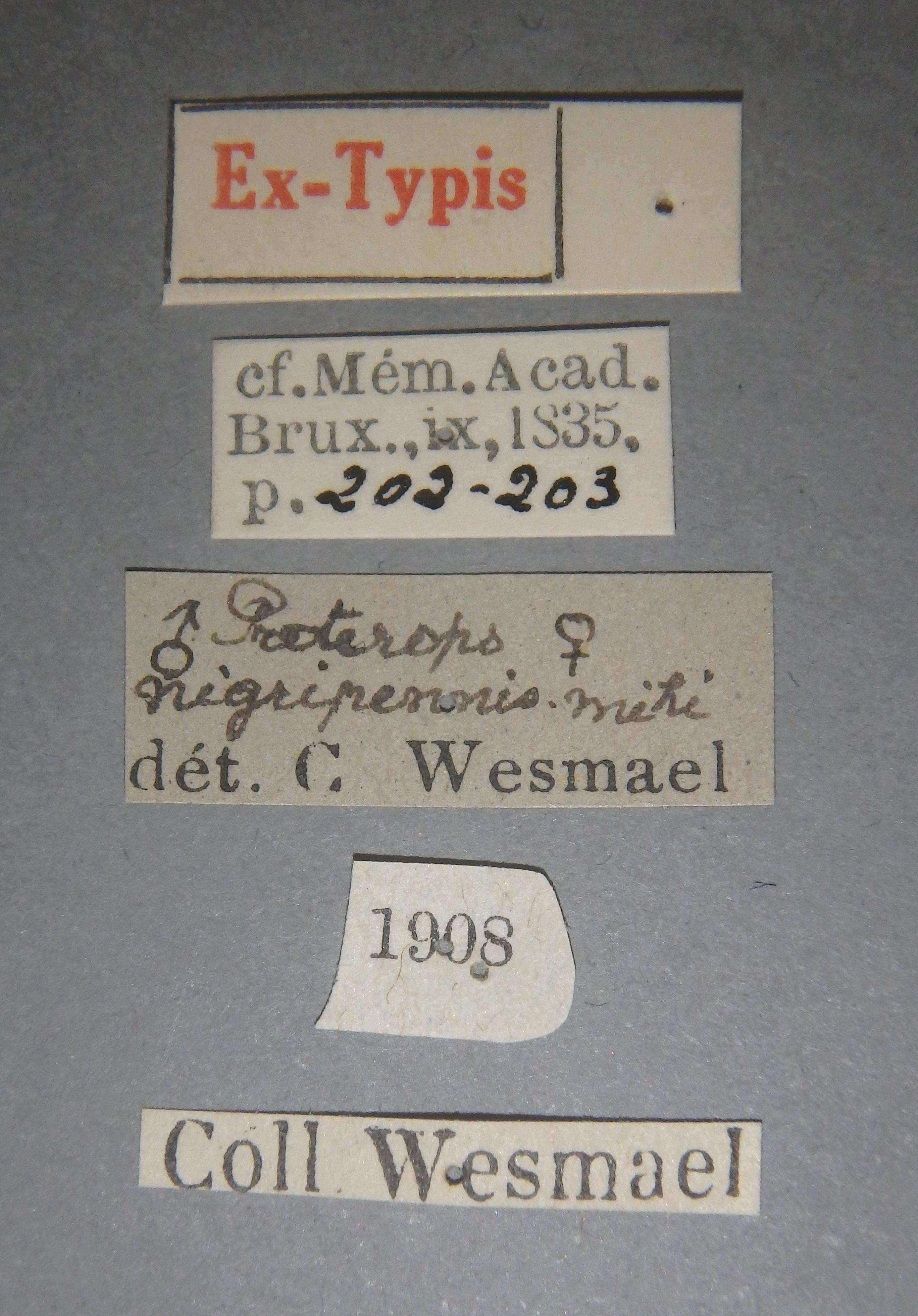 Proterops nigripennis et3 Lb.JPG