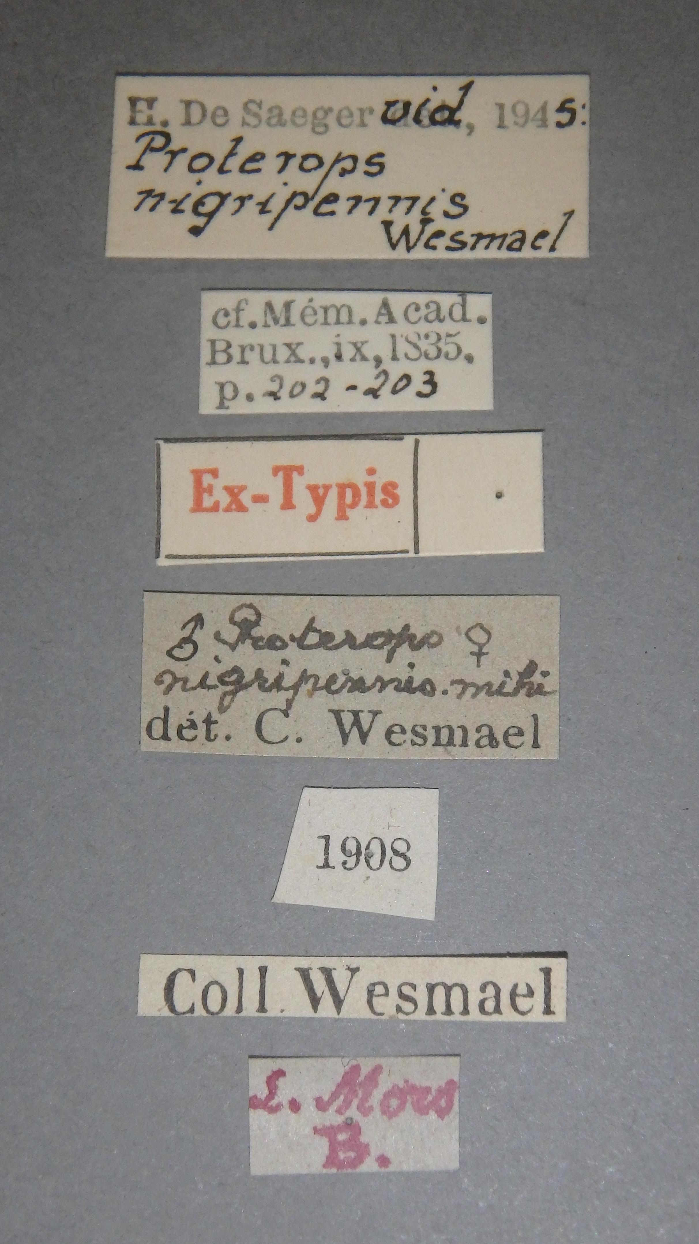 Proterops nigripennis et1 Lb.JPG
