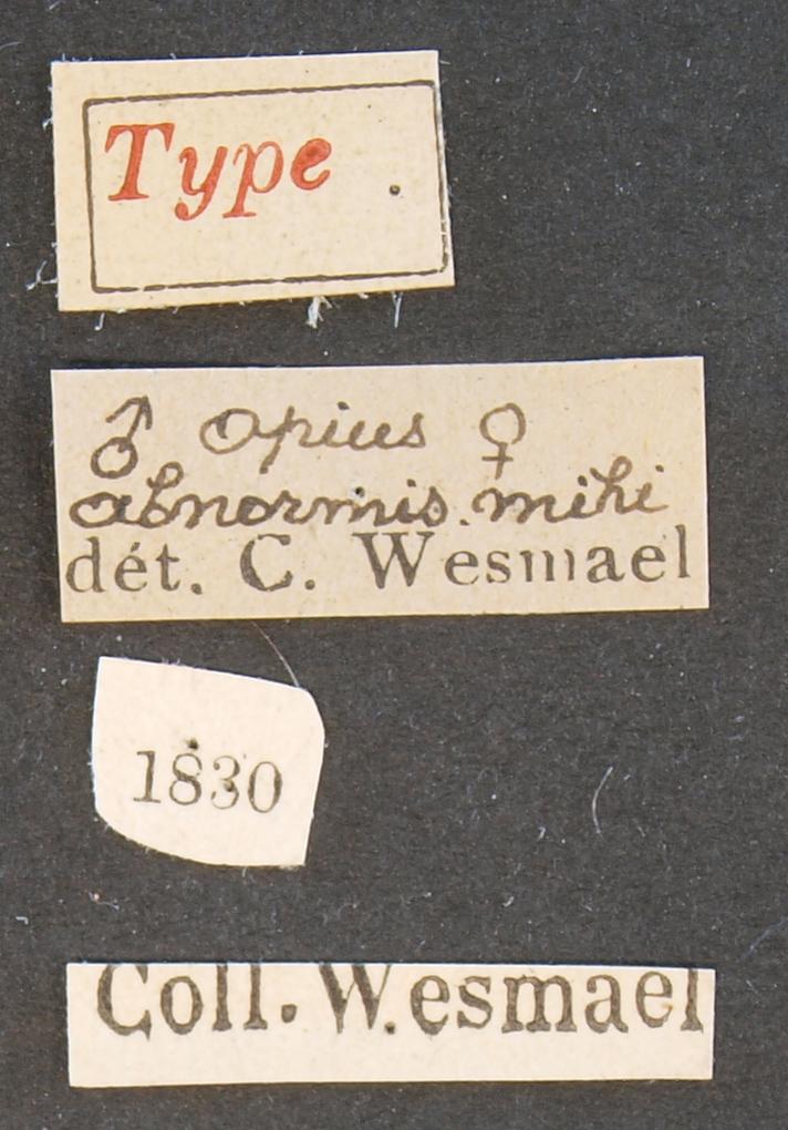 Opius abnormis typ Lb.JPG