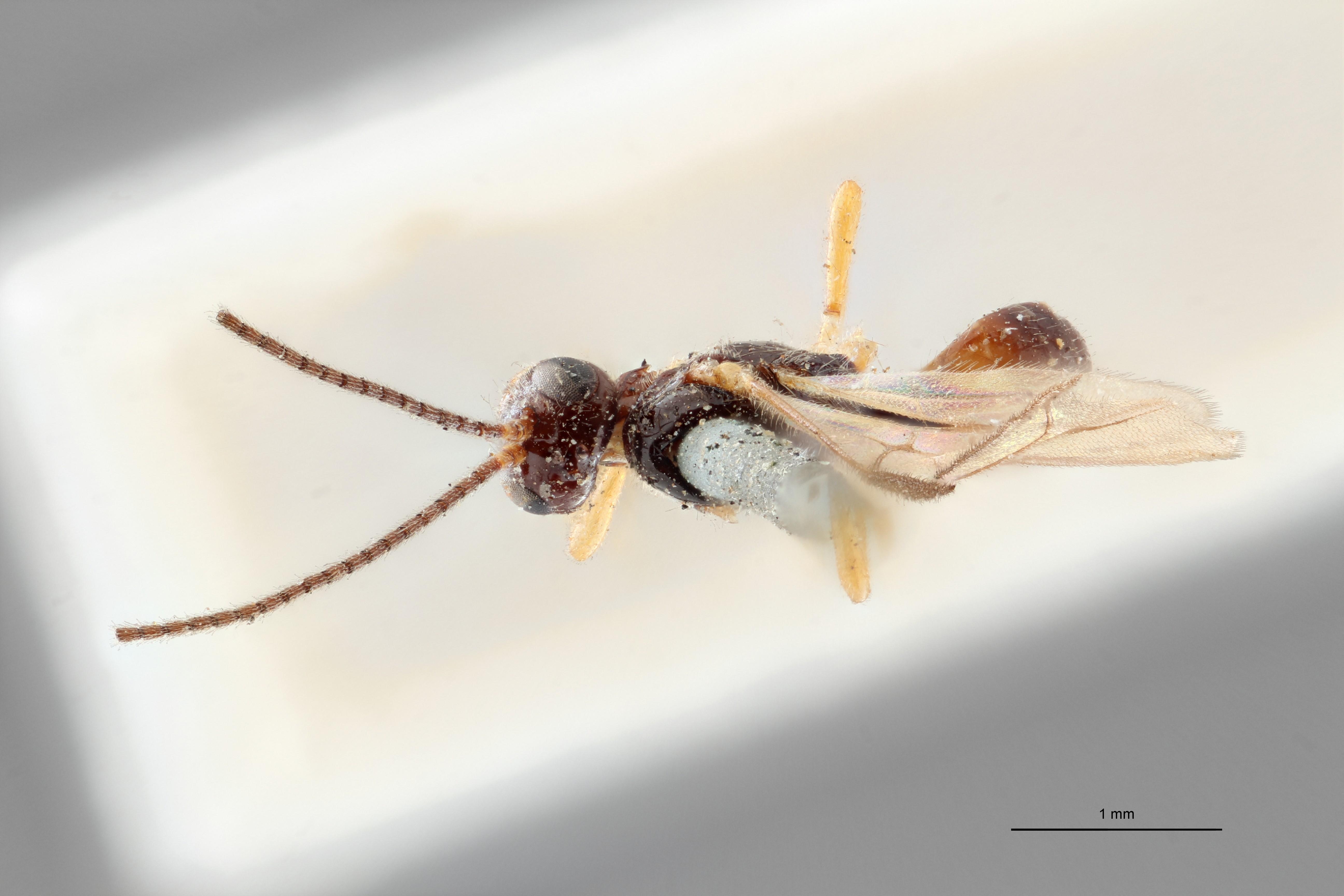 Opius (Allophlebus) singularis typ D ZS PMax.jpg