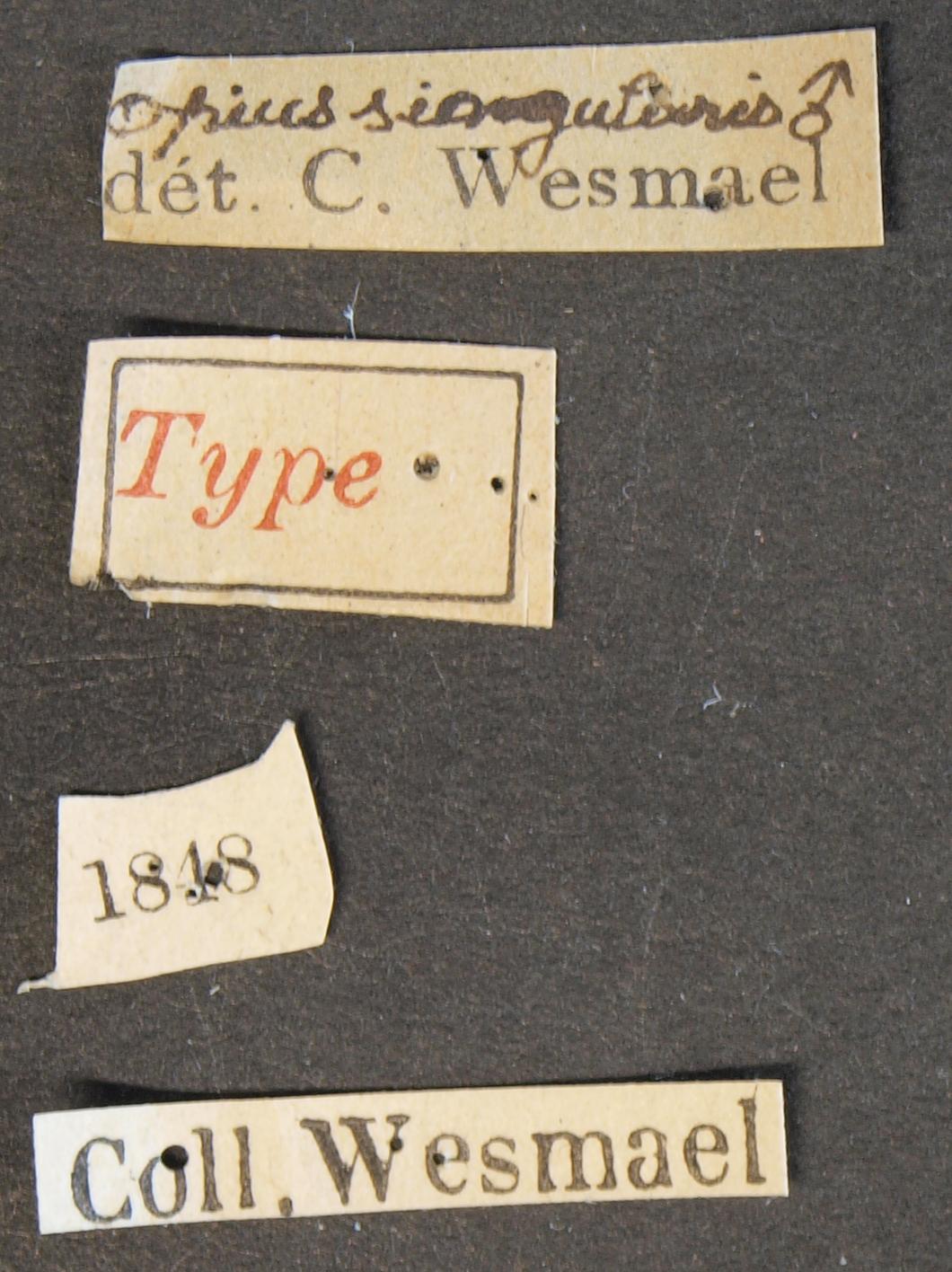 Opius (Allophlebus) singularis typ Lb.JPG