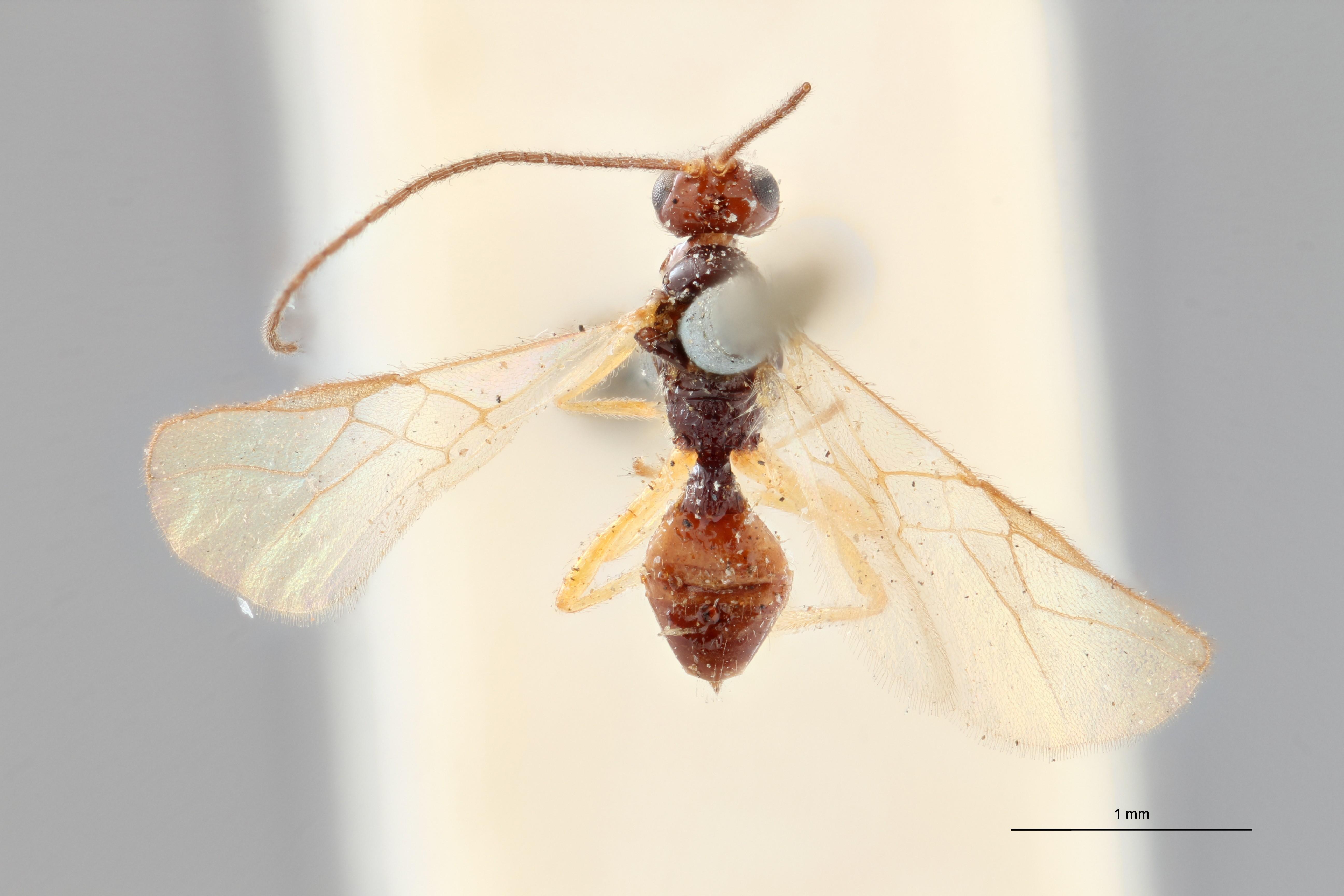 Opius (Allotypus) irregularis plt D ZS PMax.jpg