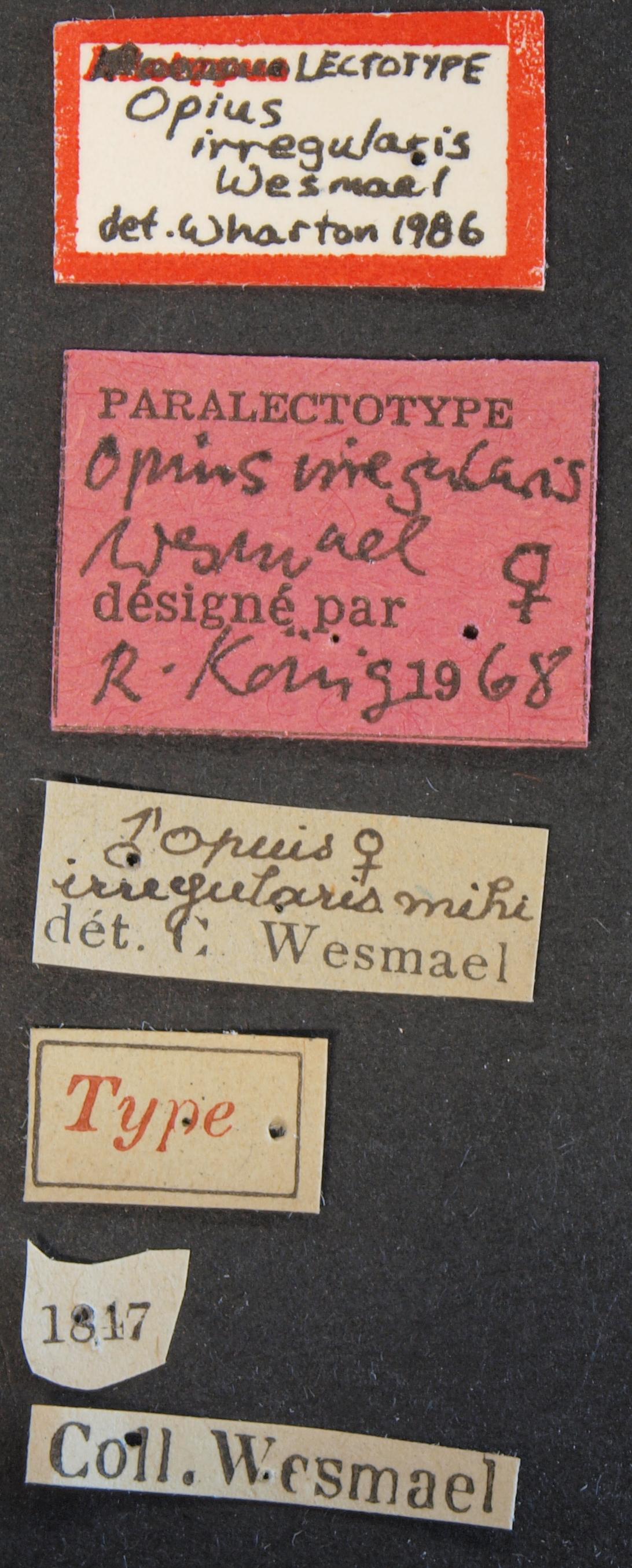 Opius (Allotypus) irregularis plt Lb.JPG