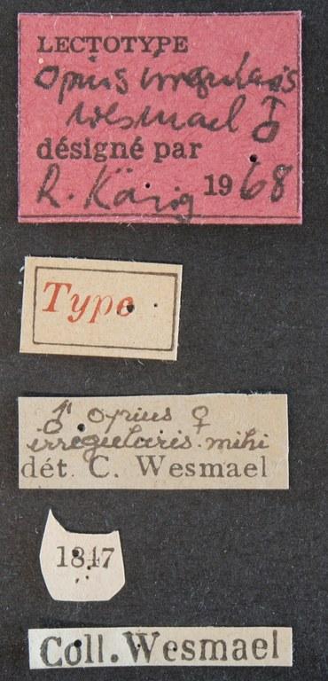 Opius (Allotypus) irregularis lct Lb.JPG